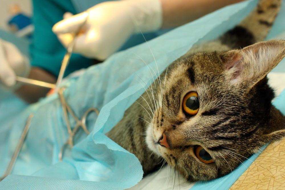После стерилизации кошка не будет приносить котят