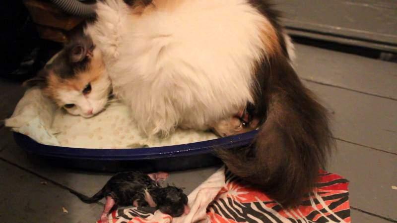 Самая частая ошибка животного заключается в том, что во время родов кошка начинает садиться