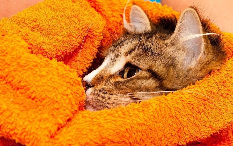 Если коту жарко, закутайте его во влажное полотенце