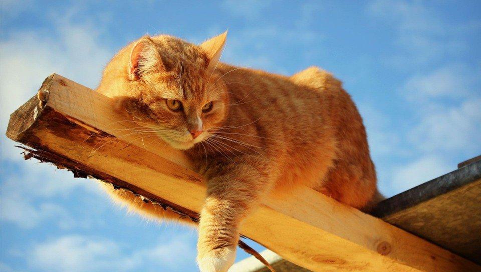 Кастрировать кота желательно до того, как он успеет побывать с кошкой