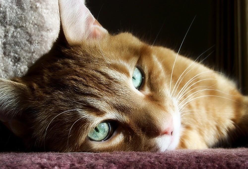 Заражение кота кишечными паразитами - одна из причин рвоты у кота