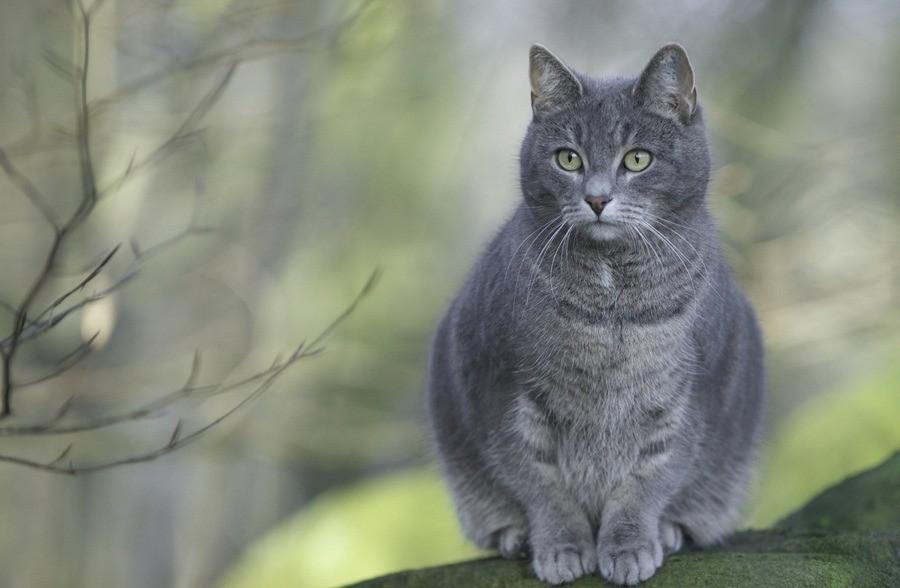 Когда наступает время вынашивания приплода, кошку начинает тошнить