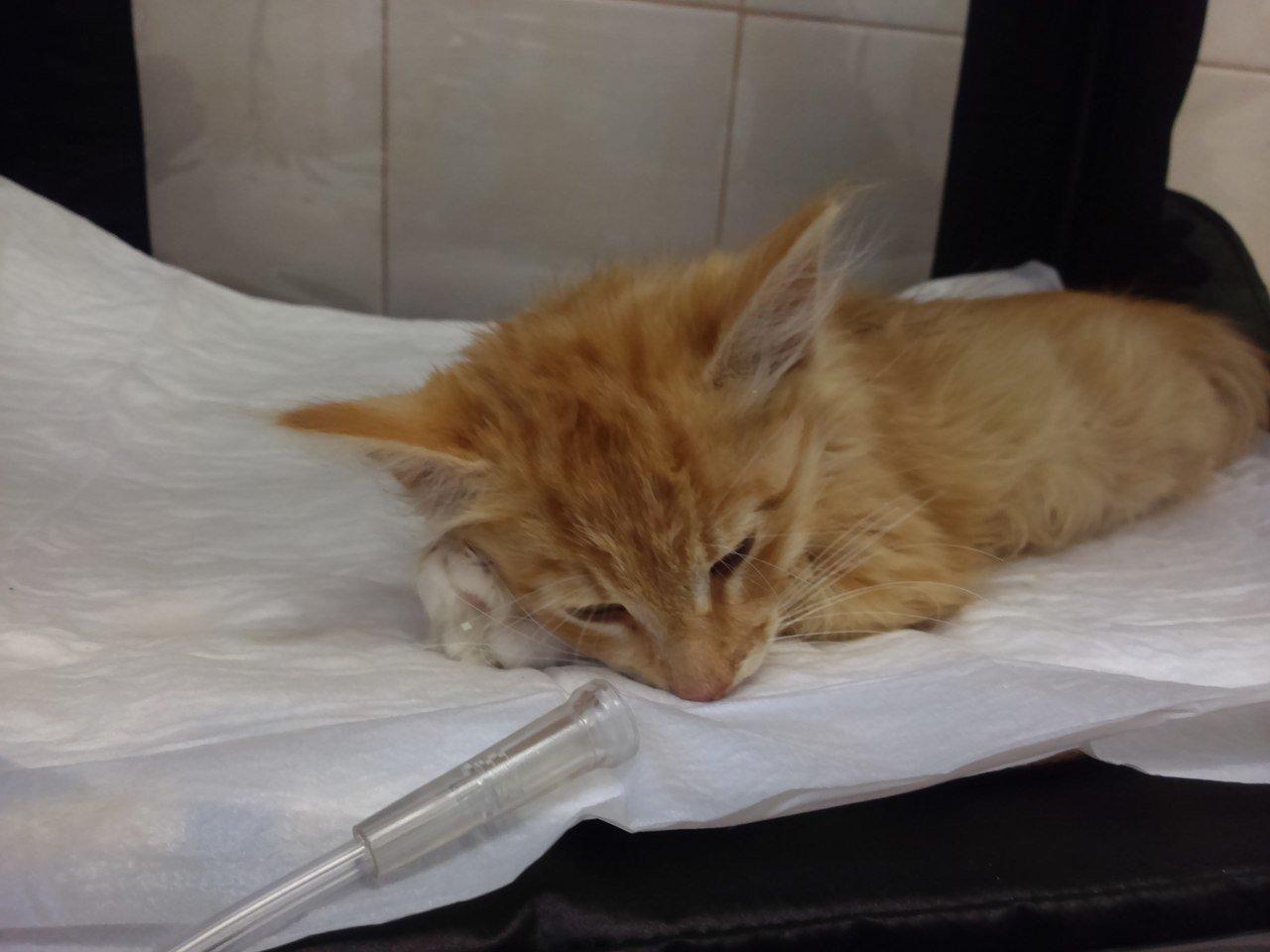 Чумка у кошек является распространенным заболеванием