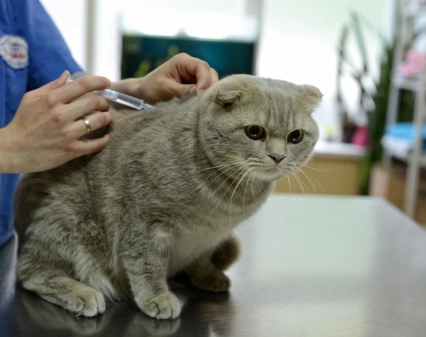 При возникновении первых признаков чумки у кошек следует обратиться к ветеринару
