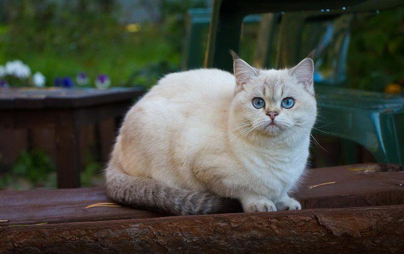 До какого размера вырастает британский кот
