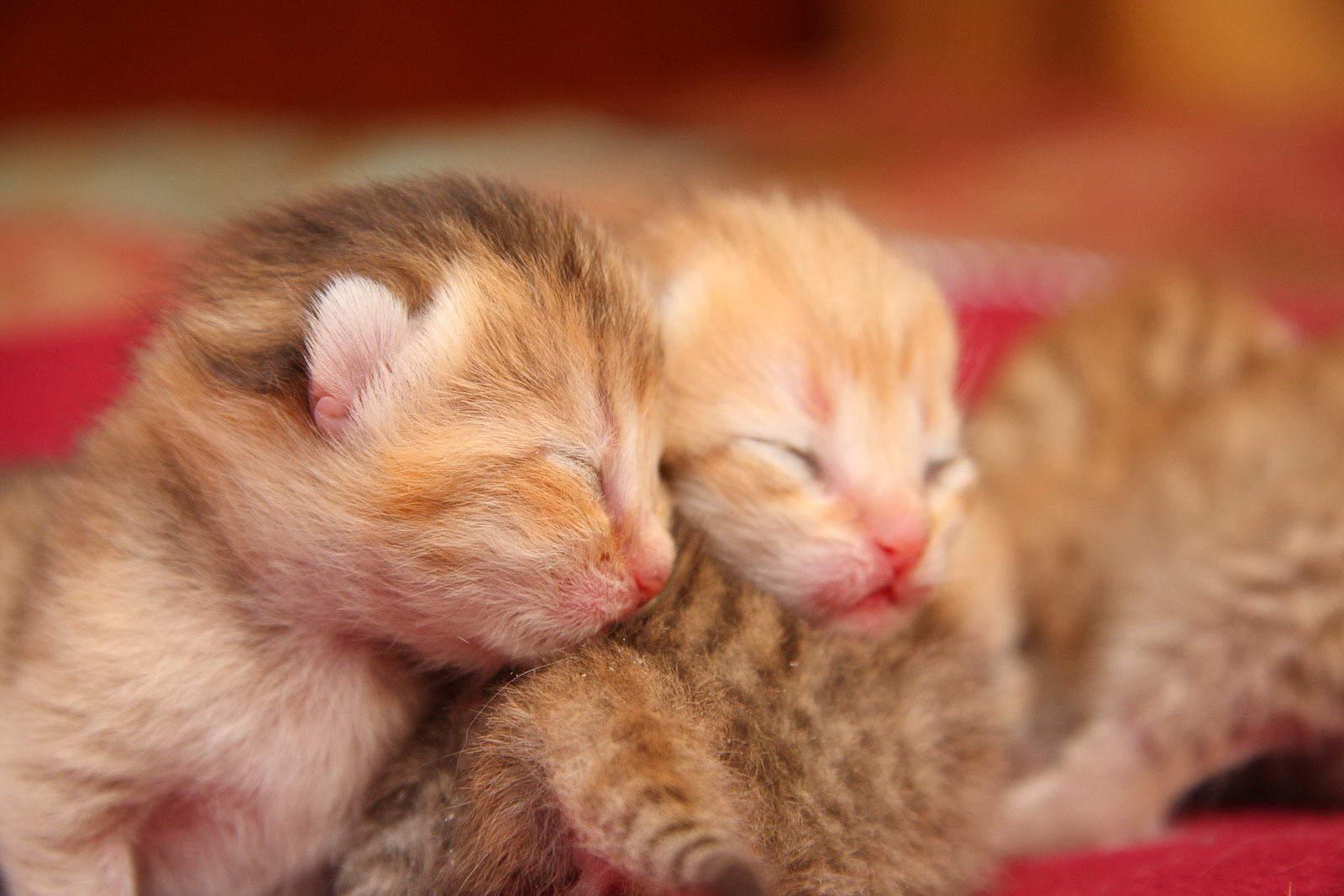Первая неделя жизни после рождения котенка называются неонатальным периодом