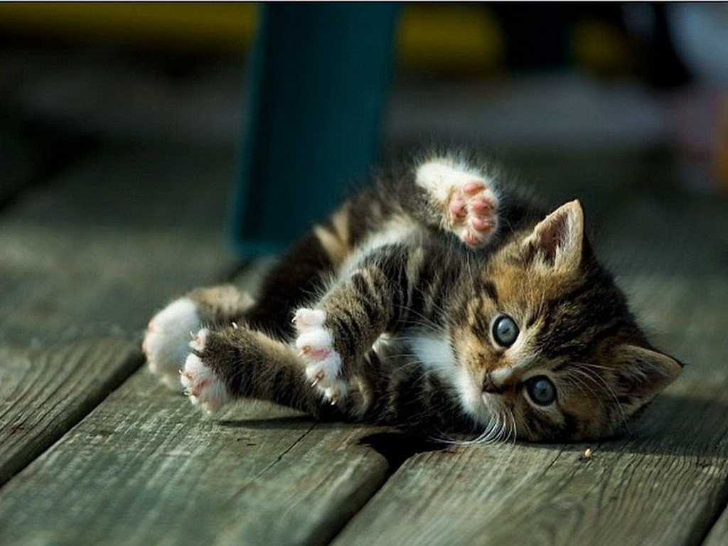 В 4 недели у котят прорезаются первые зубы