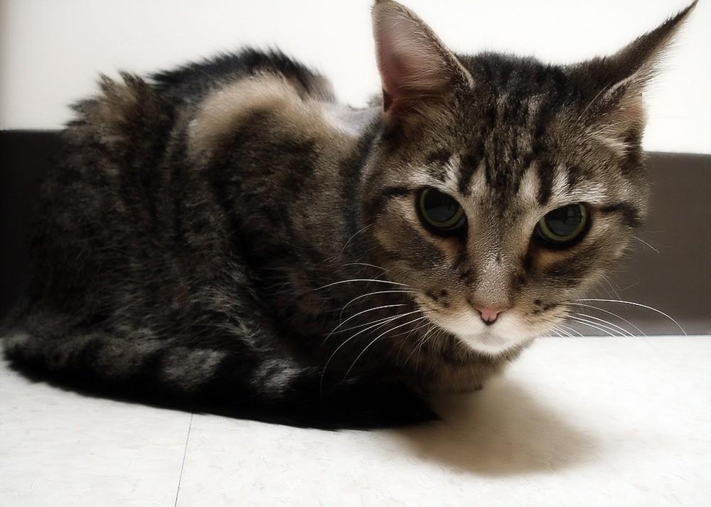 Гастрит у кошки причини симптомы диагностика