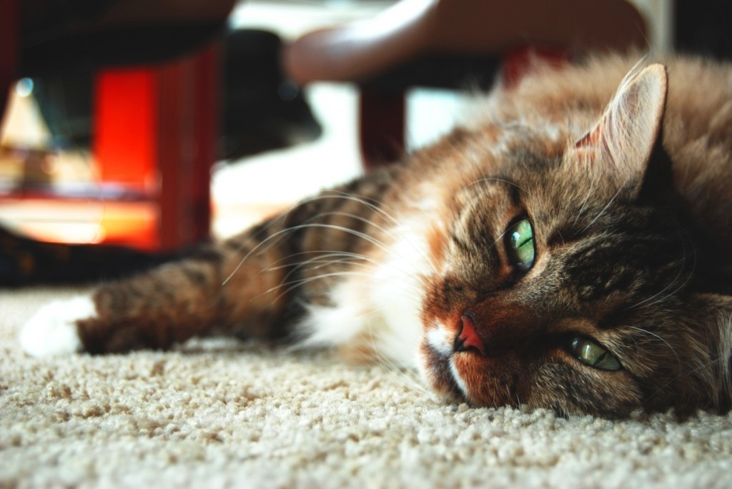 Заболевание желудка и кишечника у кошки