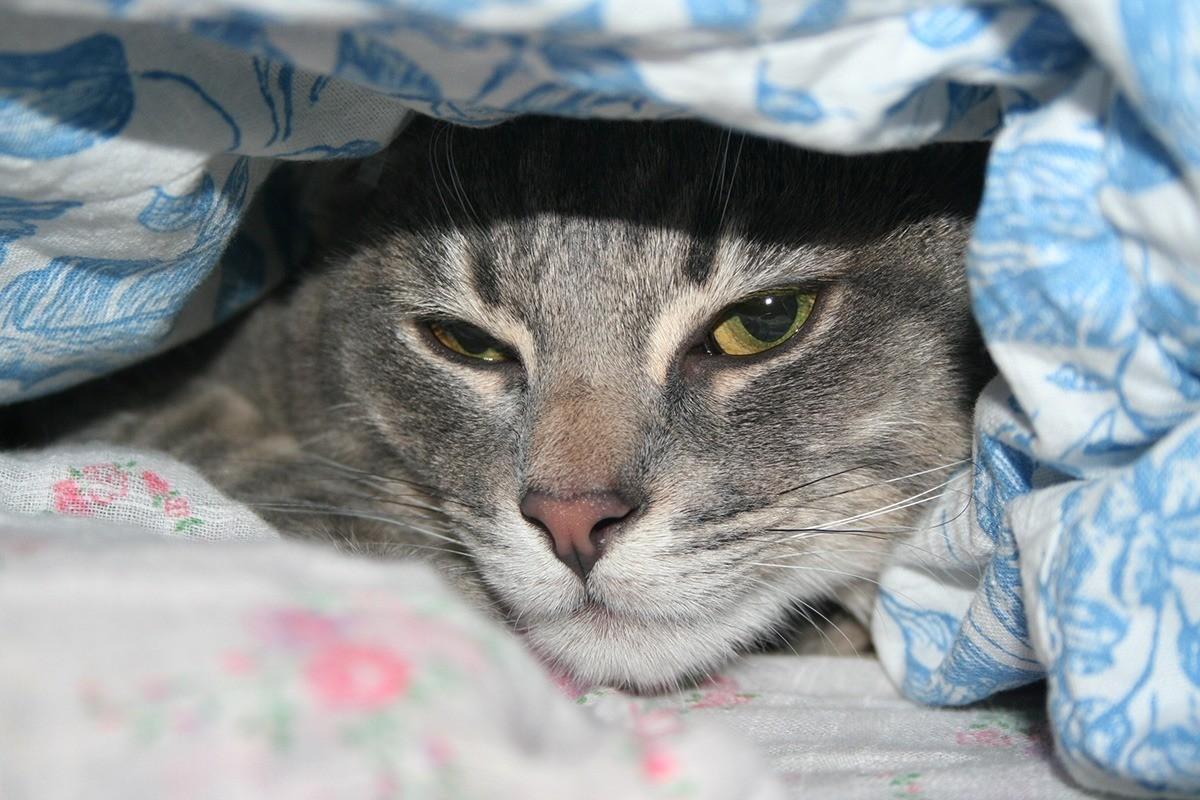 Гепатит у кошек имеет определенные симптомы, и лечение сможет назначить только опытный ветеринар