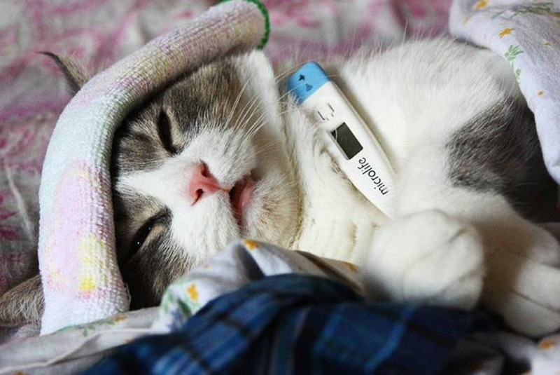 При гепатите у кота наблюдается повышенная температура