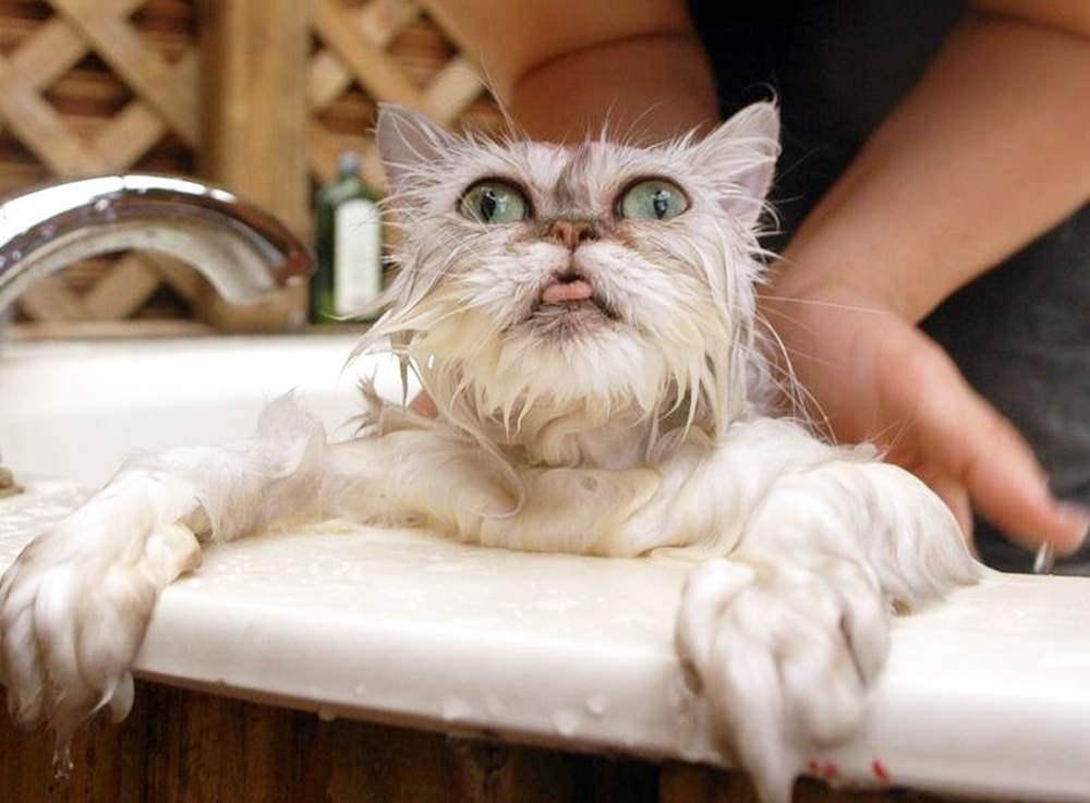 Во время купания коты могут тяжело дышать