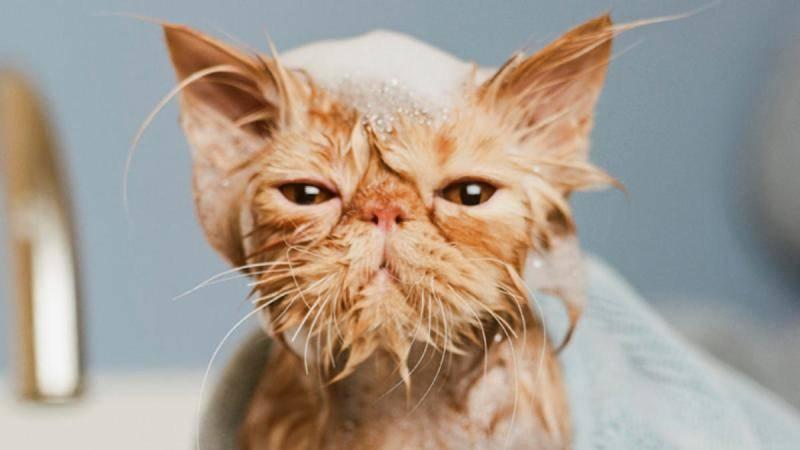 Купать кошек следует раз в 2-3 месяца