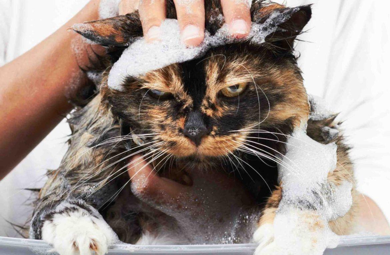 Перед купанием следует заткнуть ушки кота ватными тампонами