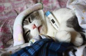 Измерение температуры кошке в домашних условиях