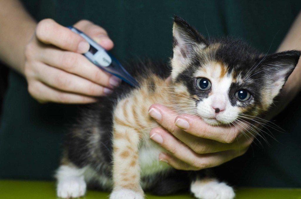 Температура тела у кошки