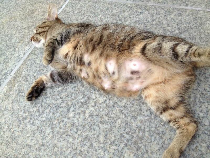 Воспаление молочных желез у кошки