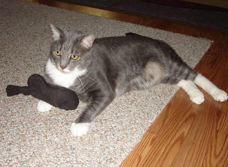Мастит у кошки имеет несколько видов течения
