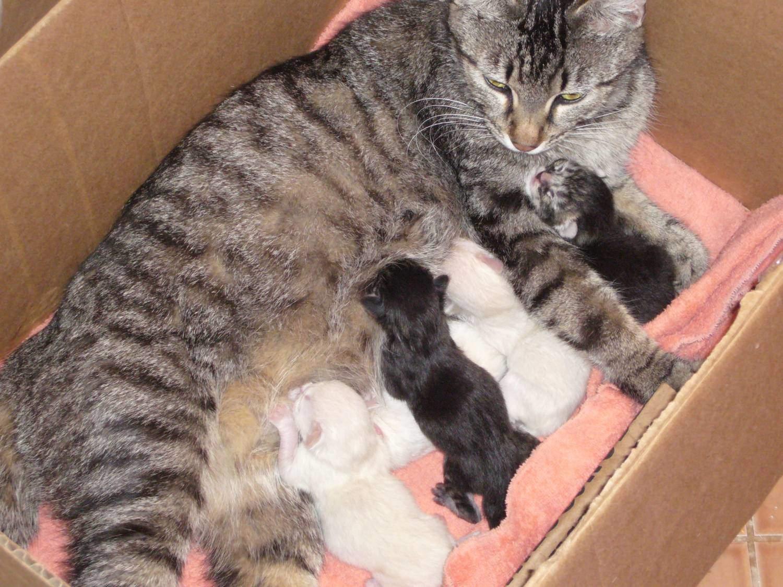 В период кормления котят соски следует тщательно обрабатывать