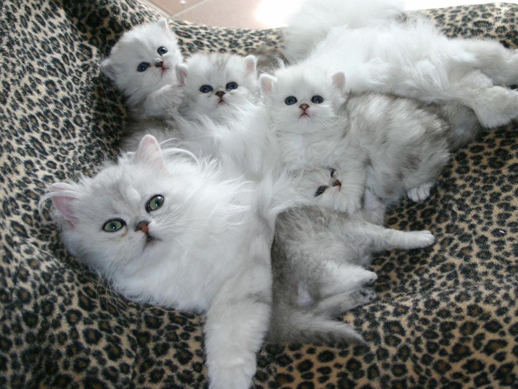 Один из важнейших аспектов в бизнесе по разведению кошек -это выбор прибыльной породы, которая будет иметь больше шансов на реализацию