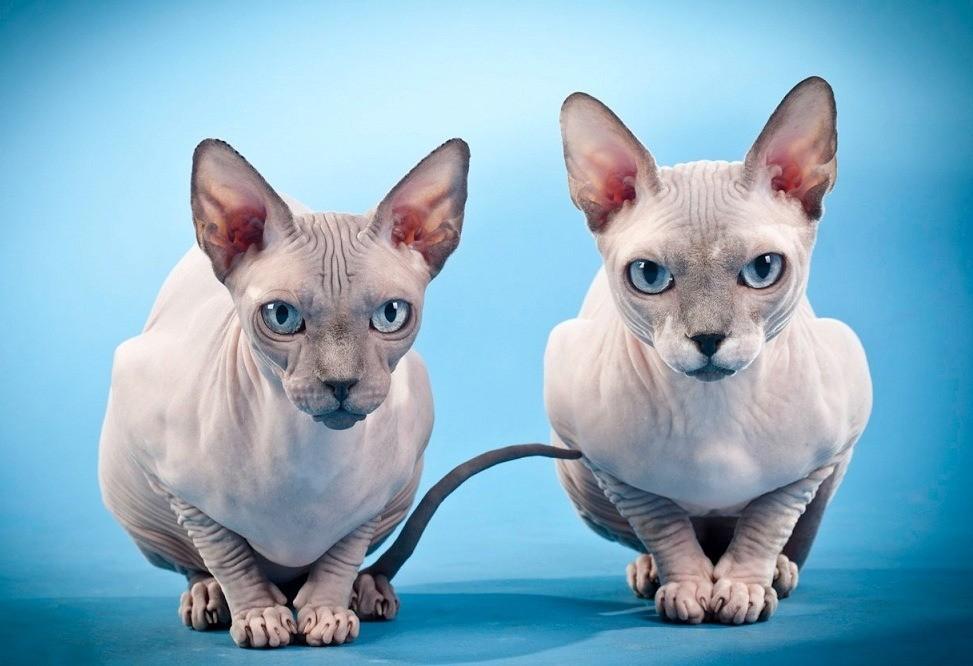 Канадские сфинксы являются прибыльной породой кошек