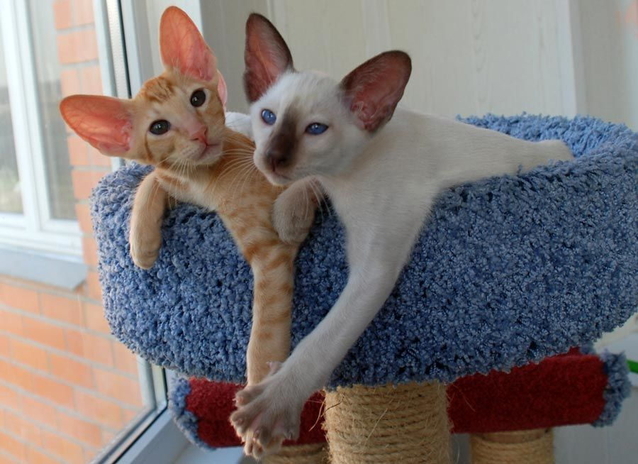 Породистые кошки быстро окупаются