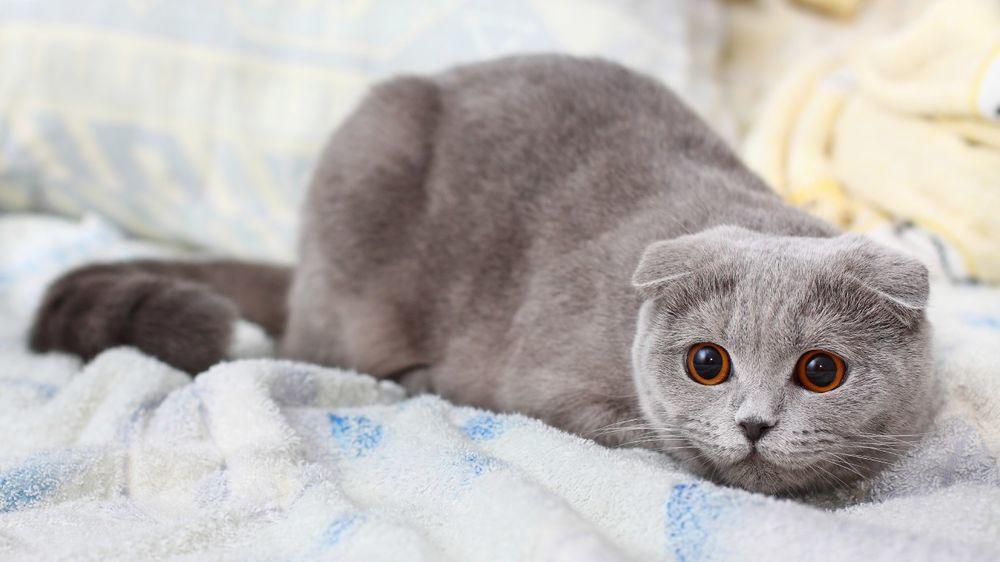 Вислоухих и британских кошек можно называть по-английски