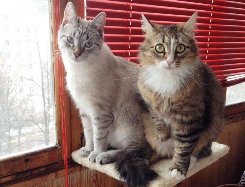 Нужно знакомить кота и кошку в спокойной обстановке