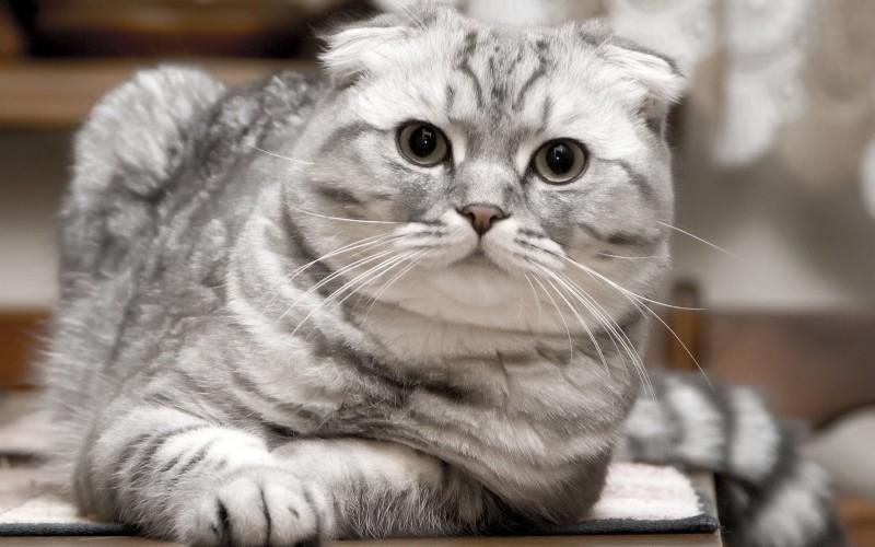 Породистые кошки не могут похвастаться способностью к долгожительству