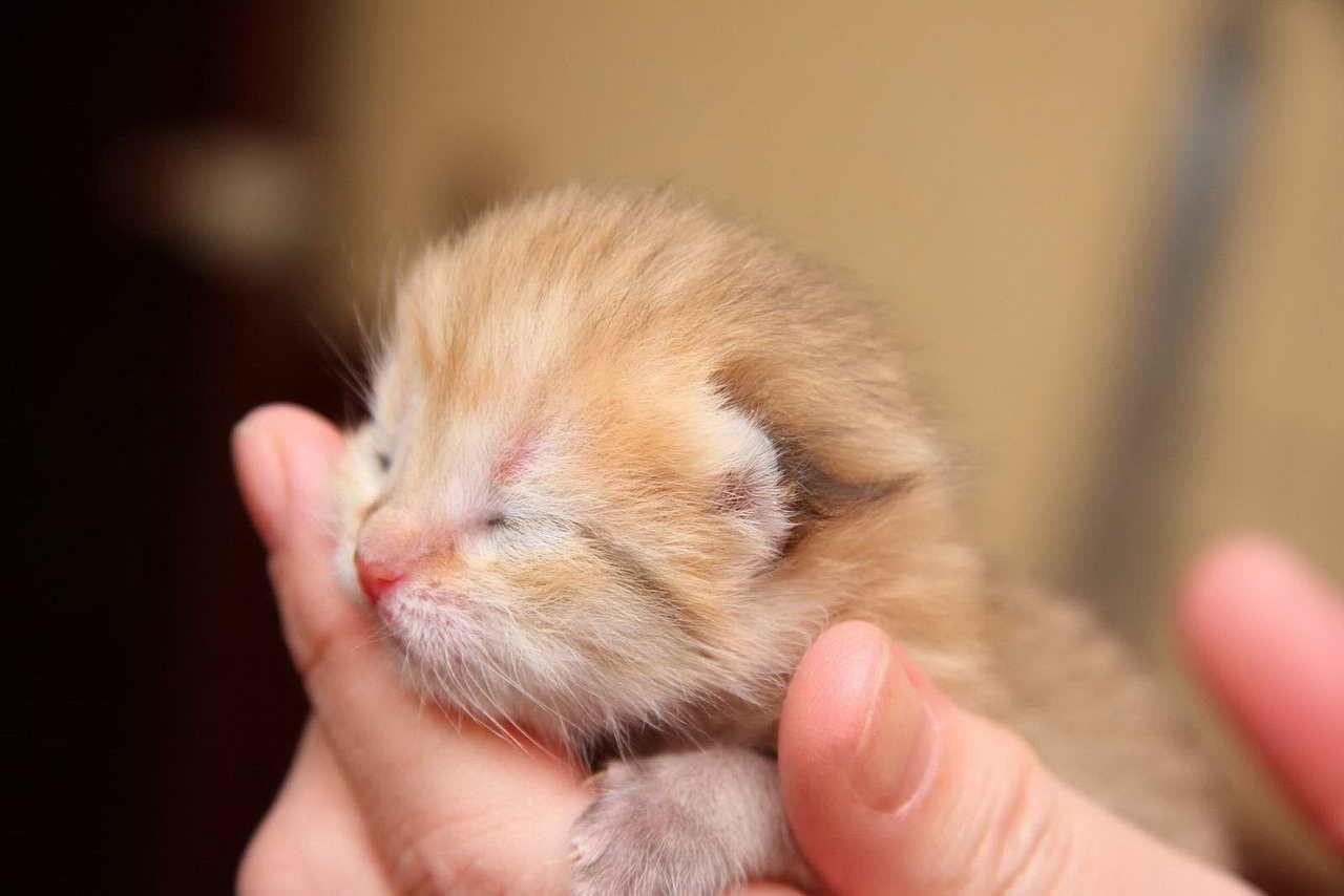Младенчество у котенка длится 2-3 недели