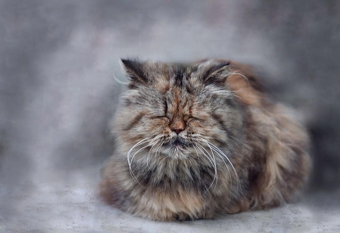«Пенсионный возраст» у котов и кошек наступает с 12 лет