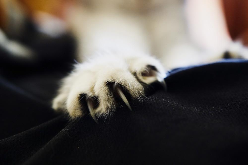Внутри когтей у кошек находятся кровеносные сосуды, сухожилия, связки, мышцы