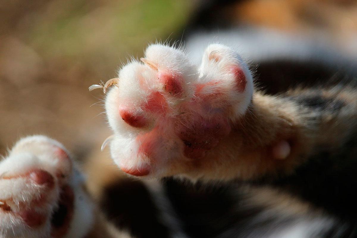 У котов есть пятый коготь, который обязательно подлежит состриганию