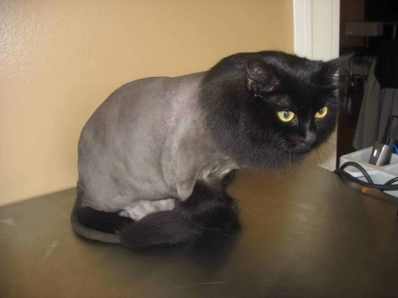 Как подстричь кота в домашних условиях : побрить самому, подстричь 59
