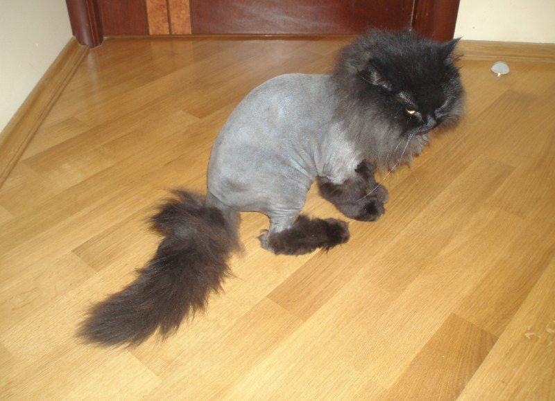 Для персидских кошек применяют такую стрижку, как у льва