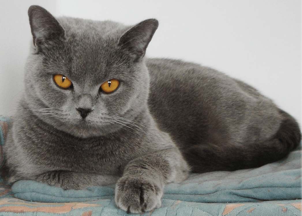 Ухаживать за шерсткой британских кошек принято без стрижек