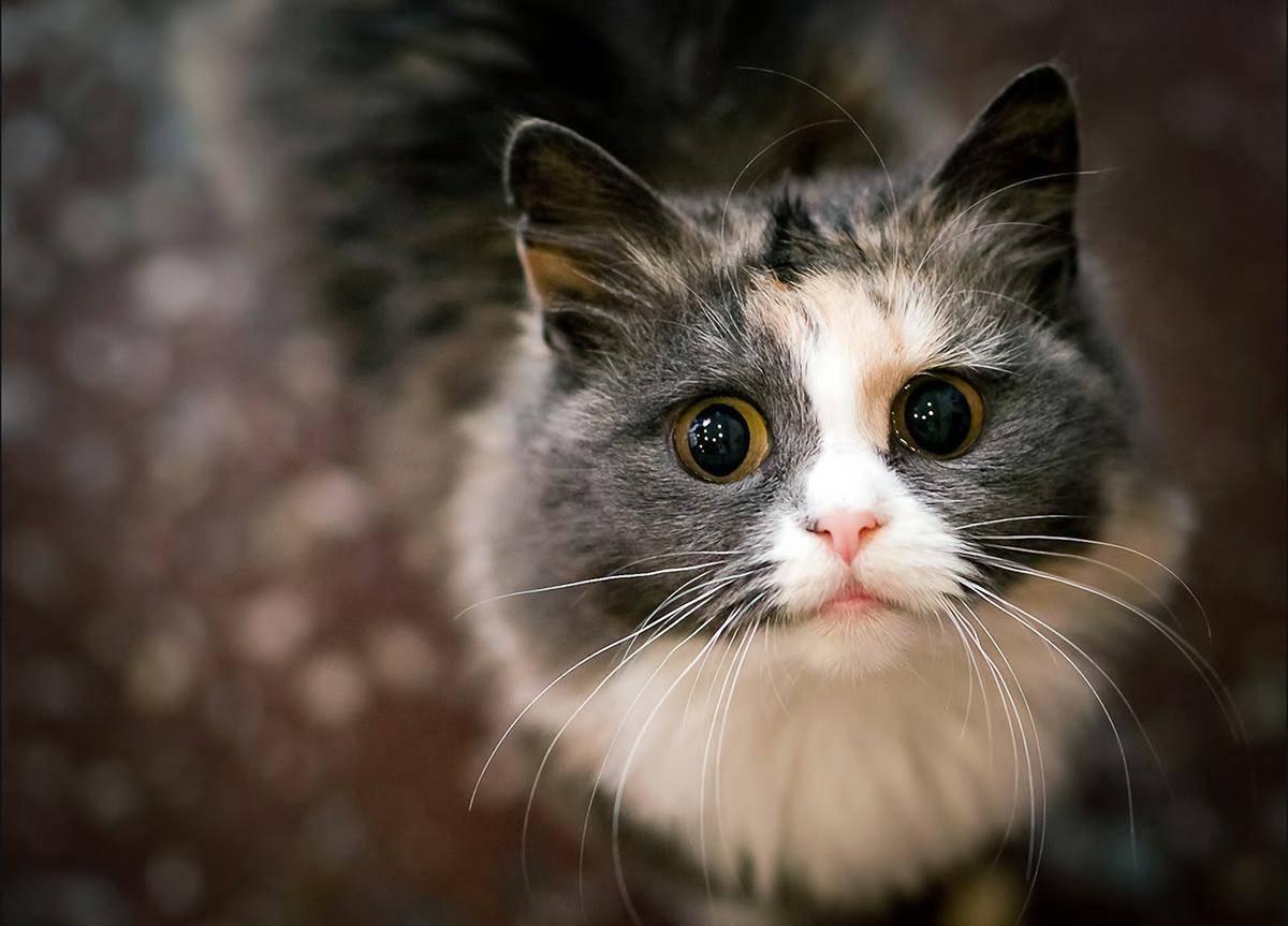 С возрастом мутнеет и тускнеет прозрачный хрусталик кошачьего глаза