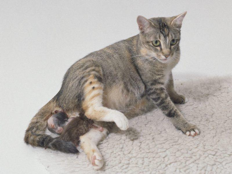 Что делать когда кошка гуляет в домашних условиях