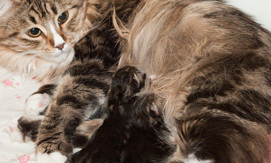 При родах у кошки сохраняйте самообладание
