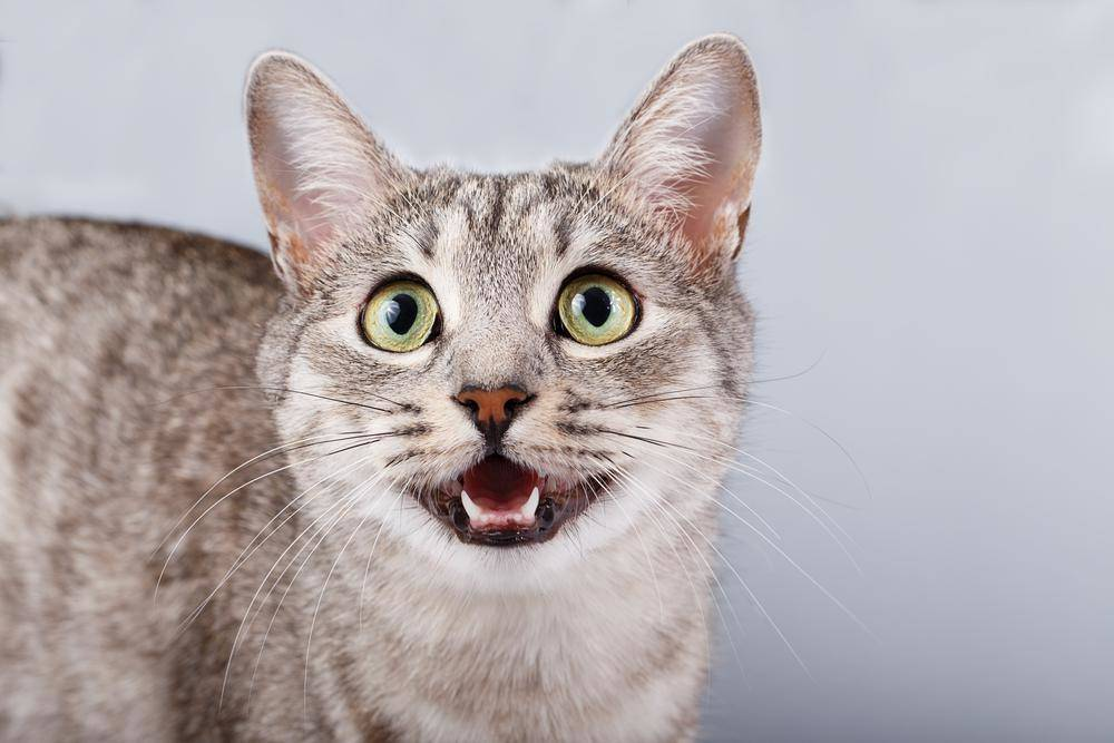 Перед родами кошка начинает надрывно мяукать