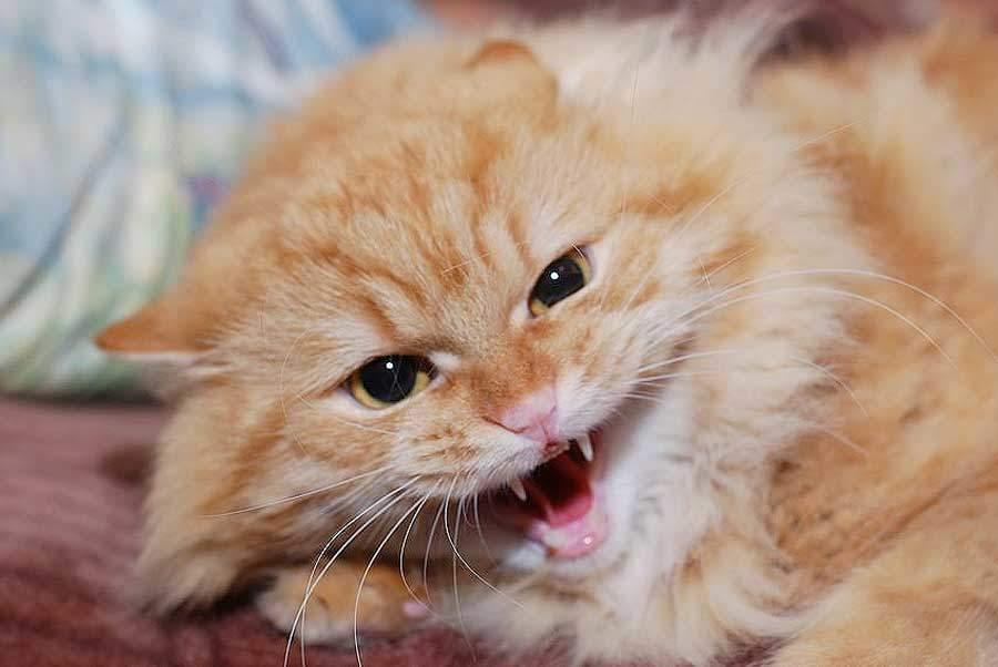 Если кошка ведет себя агрессивно, пригласите ветеринара