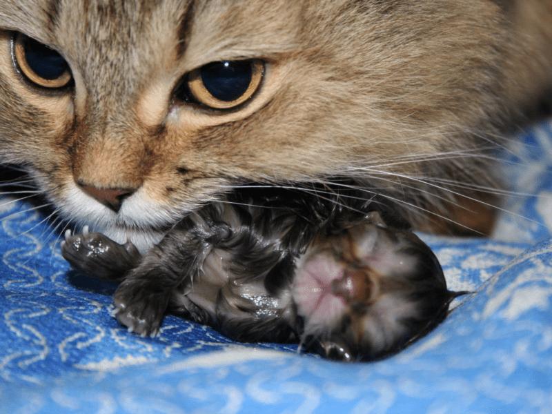 Продолжительность родов у всех кошек индивидуальна