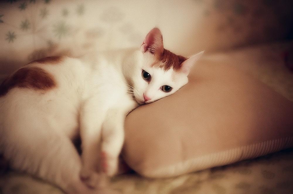 Гельминтоз (или глисты у кошек), симптомы которого при паразитарном заражении могут иметь как прямые, так и косвенные признаки