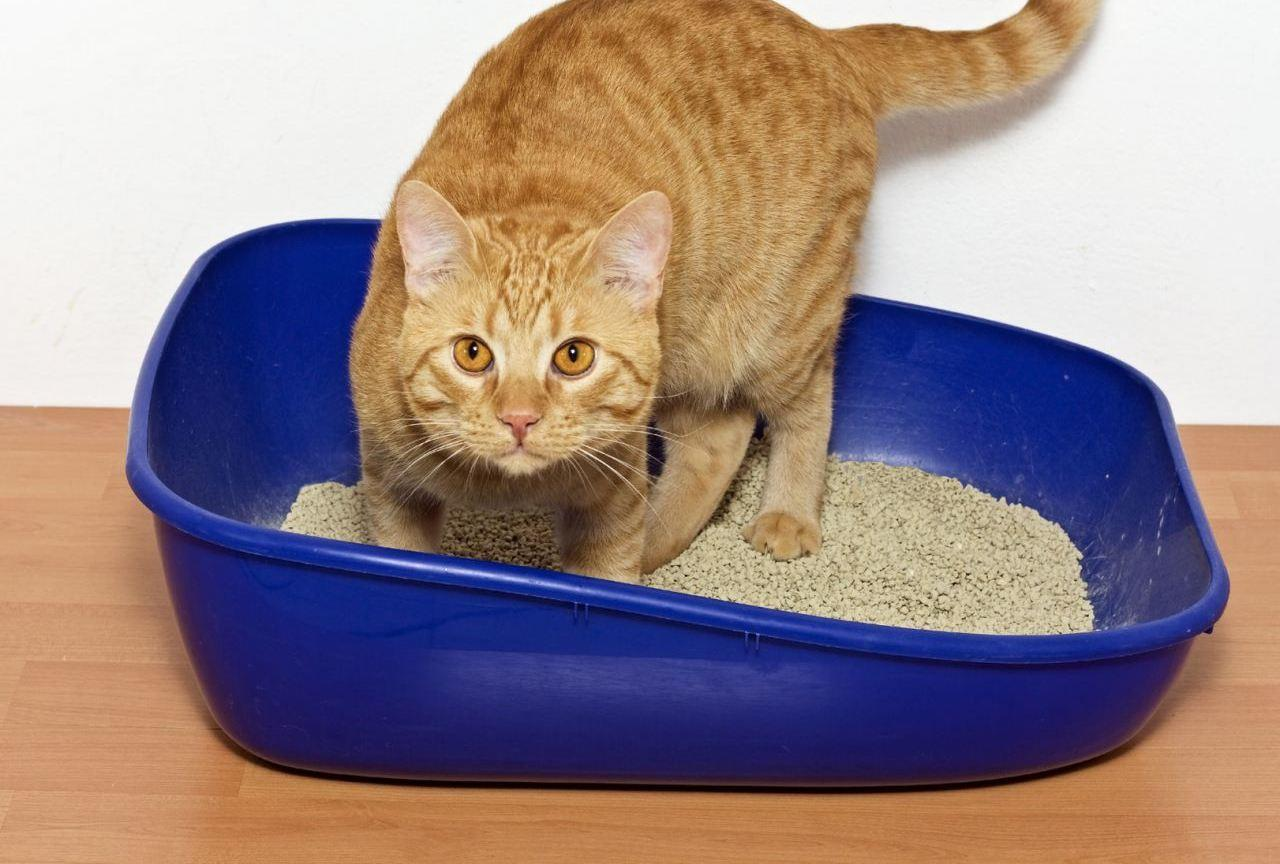Понос у кошек - симптом появления глистов