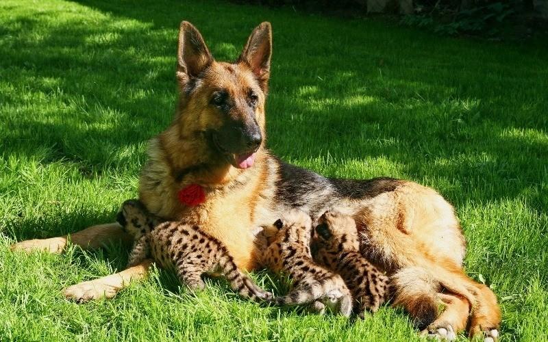 Иногда кошачьих могут вскармливать и животные других видов