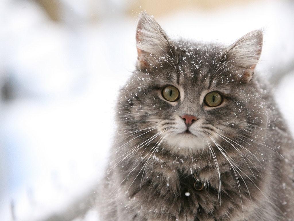 Кошки могут прекрасно переносить как холод, так и жару