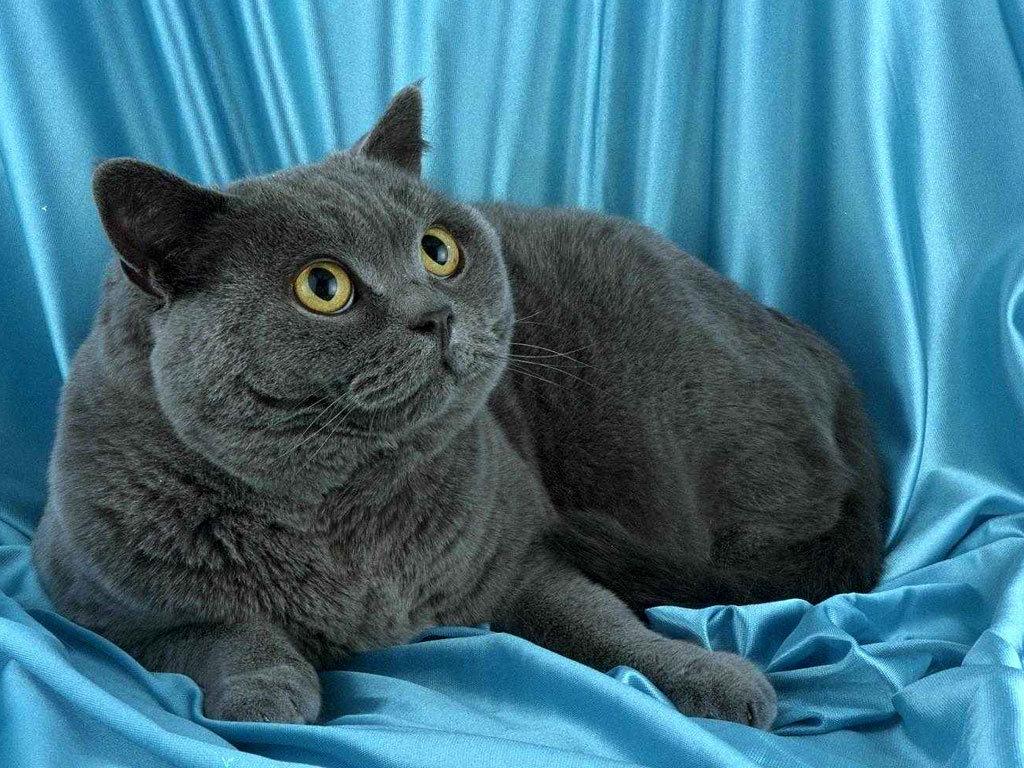Британская порода кошек хорошо приспособлена к жизни в квартире
