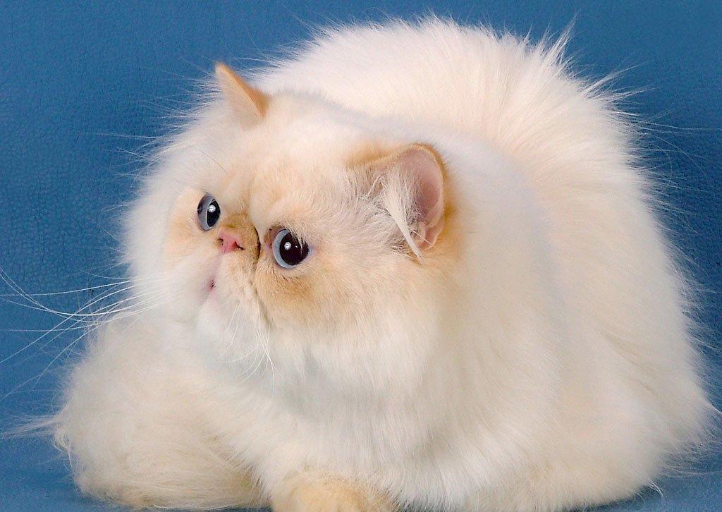 Персидская кошка не пугается одиночества