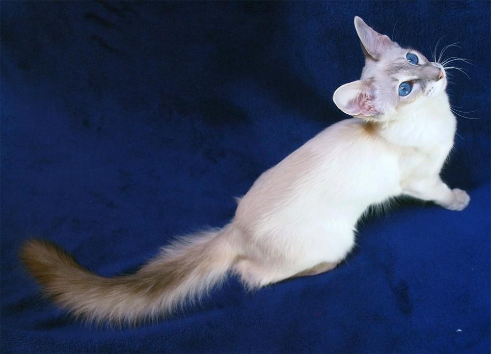 Яванская кошка переносит одиночество без хозяев в течение дня