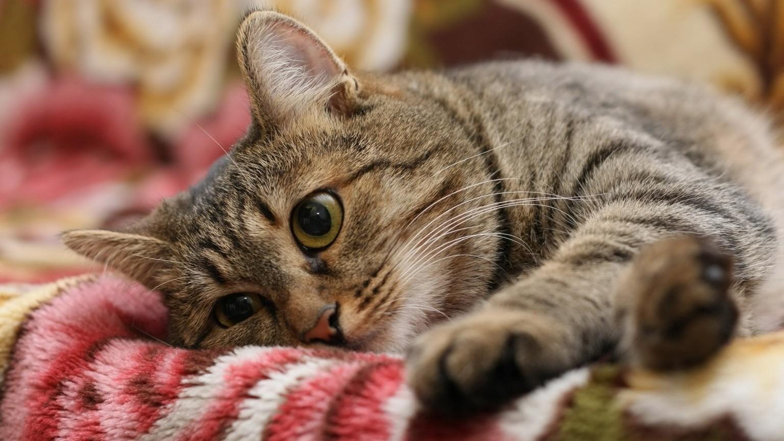 Стерилизовать кошку желательно до года